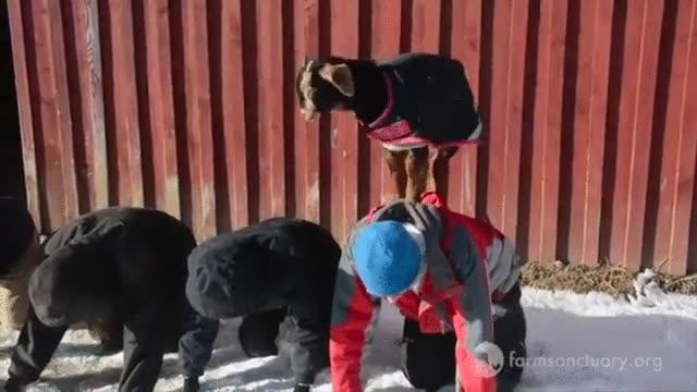 Enlace a Definitivamente, a las cabras les encanta escalar cosas