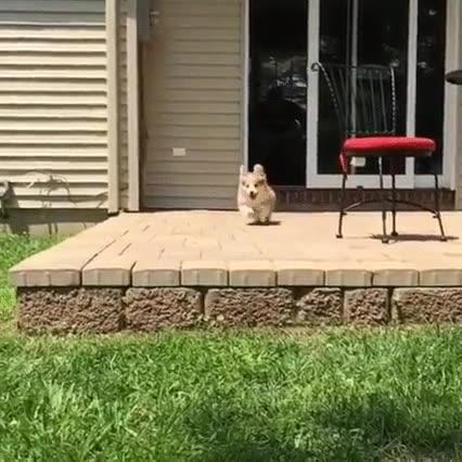 Enlace a Los Corgi son perros siempre preparados para la acción
