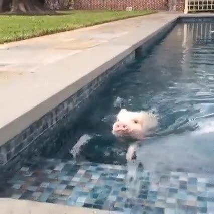 Enlace a Cerdito haciendo unas largos en la piscina