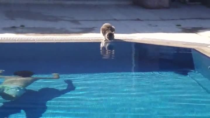 Enlace a Gatos que nunca más volverán a acercarse a la piscina