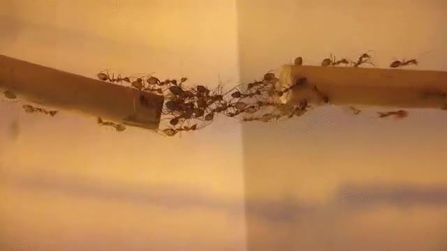 Enlace a Hormigas trabajando en equipo para crear un puente