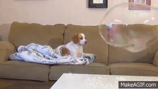 Enlace a Perros que no se impresionan con una simple burbuja gigante