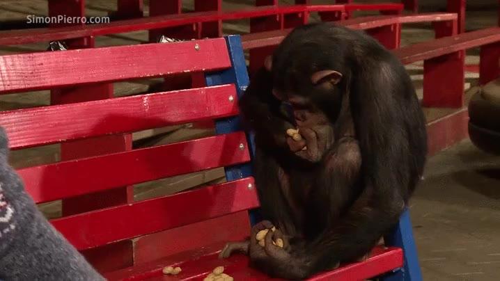 Enlace a Chimpancé reaccionando a cacahuetes mágicos