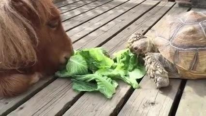 Enlace a Un poni y una tortuga compartiendo una ensalada. Colegueo del bueno