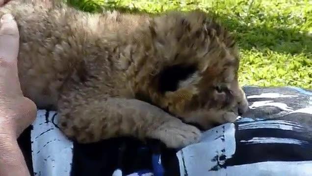 Enlace a Los leones no son tan fieros como los pintan. Especialmente cuando son cachorros