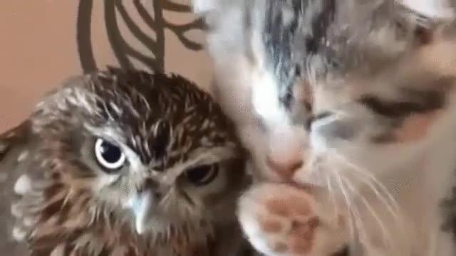 Enlace a El amor entre búhos y gatos existe