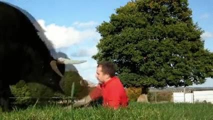 Enlace a Cómo convertirse en el mejor amigo de un toro