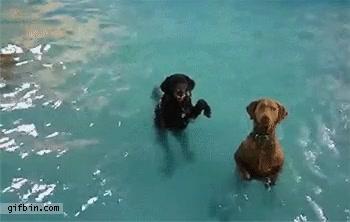 Enlace a Perros con pocas ganas de nadar que han aprendido a ponerse de pie en la piscina