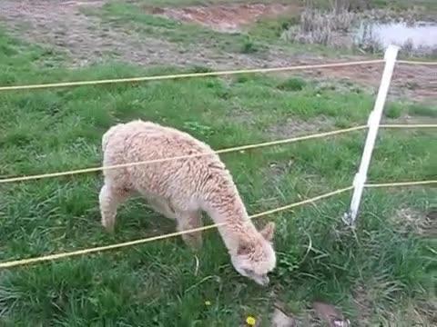 Enlace a Una alpaca sortea sin problemas las barreras que le pone la vida