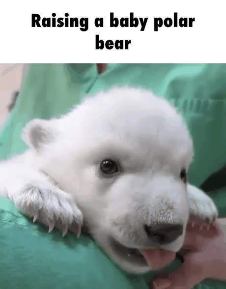 Enlace a Los primeros días de vida de un oso polar