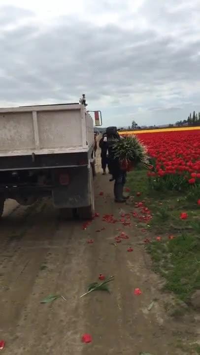 Enlace a Que alguien le explique que no es la mejor manera de recoger tulipas