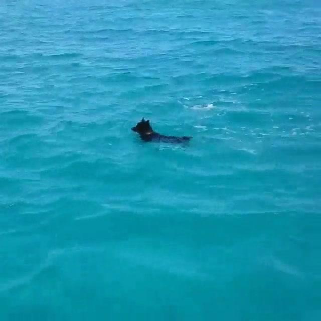 Enlace a Delfín enseñando a nadar a un perro