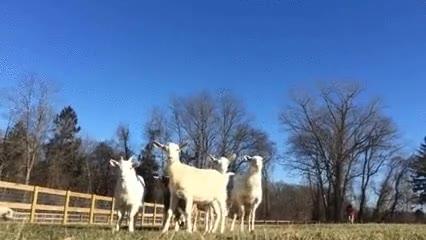 Enlace a Cabras que ponen en pausa el modo jugar para investigar una cámara