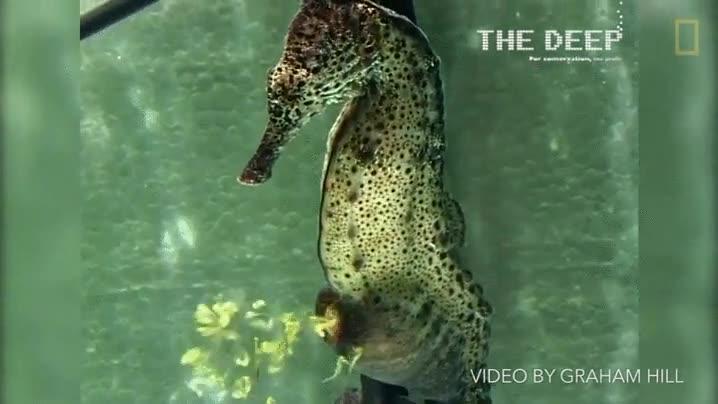 Enlace a El momento exacto en el que un caballito de mar tiene descendencia