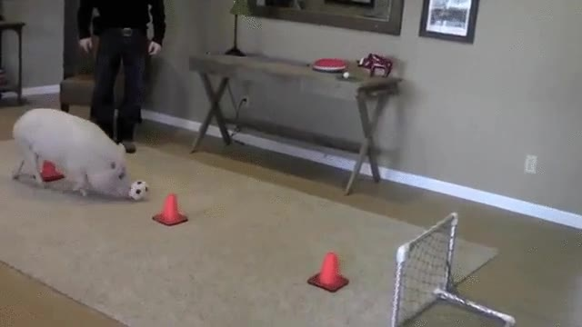 Enlace a El Messi de los cerdos. El control del balón es espectacular