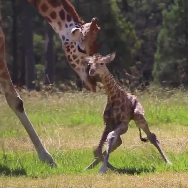Enlace a Primeros pasos de una jirafa recién nacida
