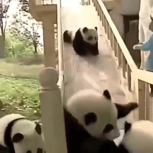 Enlace a Hay pocas cosas más divertidas que un grupo de pandas jugando