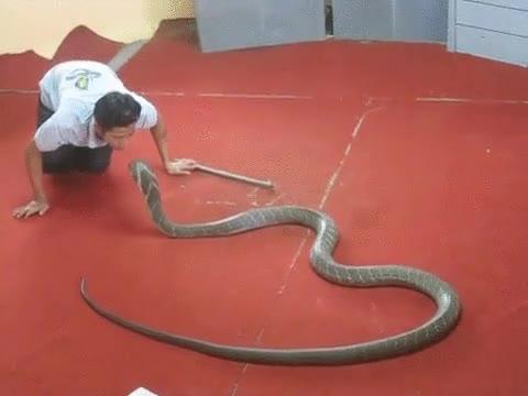 Enlace a El encantador de cobras. Ninguna se puede resistir a un beso