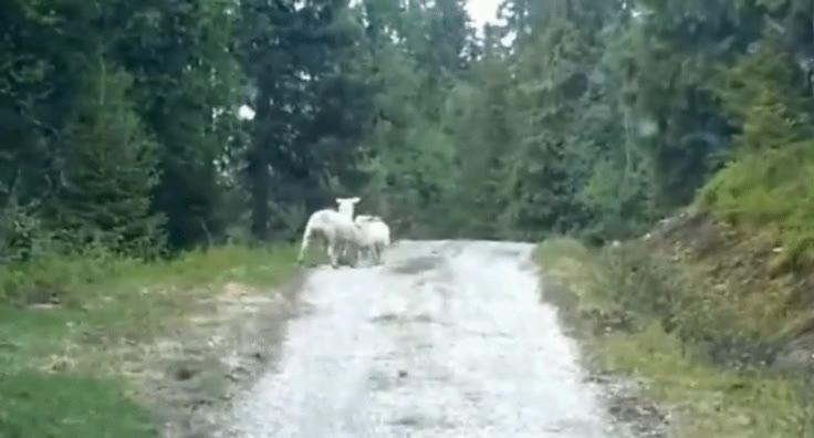 Enlace a El cuento de las ovejas y el lobo ha cambiado mucho...