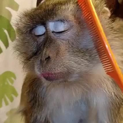 Enlace a Monos que se han acostumbrado demasiado a la buena vida