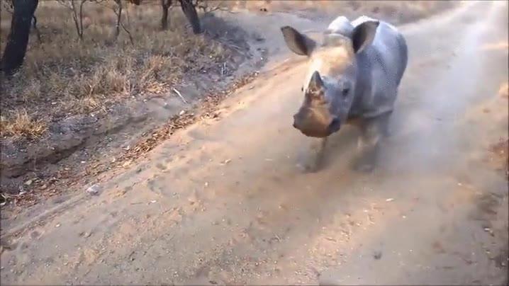 Enlace a Rinocerontes que quieren ser como cabras
