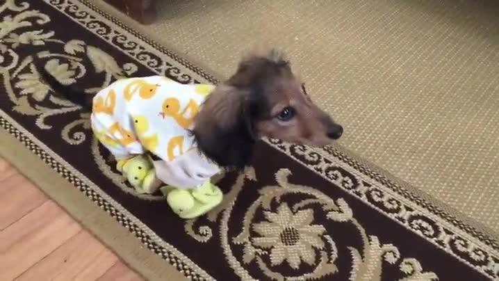 Enlace a Cuando crees que ya lo has visto todo llega un perro llevando un pijama de patos