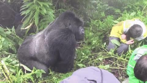 Enlace a Nunca hagas contacto visual con un gorila