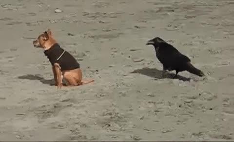 Enlace a Cuervo trolleando a un perro mordiéndole el trasero