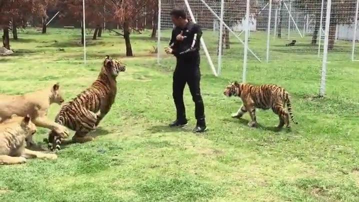 Enlace a Pequeña pelea entre un humano y un tigre. Suerte que están jugando