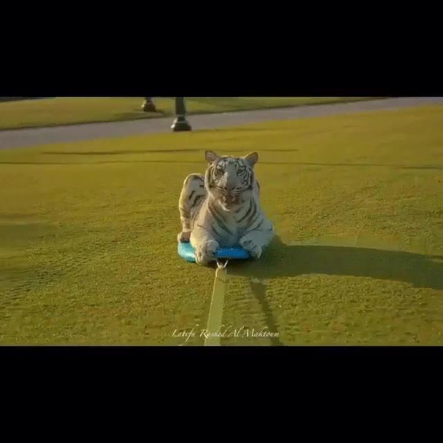 Enlace a No todos los días se ve a un Tigre Blanco surfeando