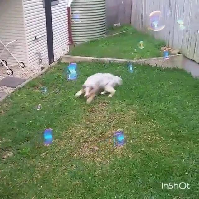 Enlace a Perro obsesionado con hacer explotar todas las burbujas