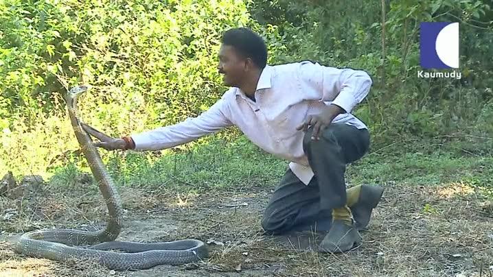 Enlace a Acariciar a una Cobra Real es una de las cosas más peligrosas del mundo