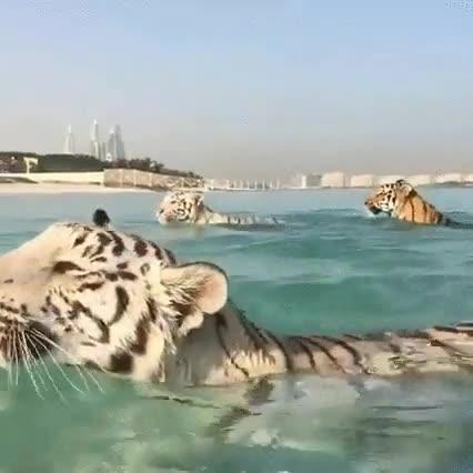 Enlace a Los tigres también tienen derecho a darse un chapuzón y disfrutar del verano