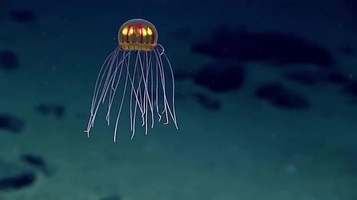 Enlace a La reciente descubierta medusa de Corsotta parece un dibujo animado