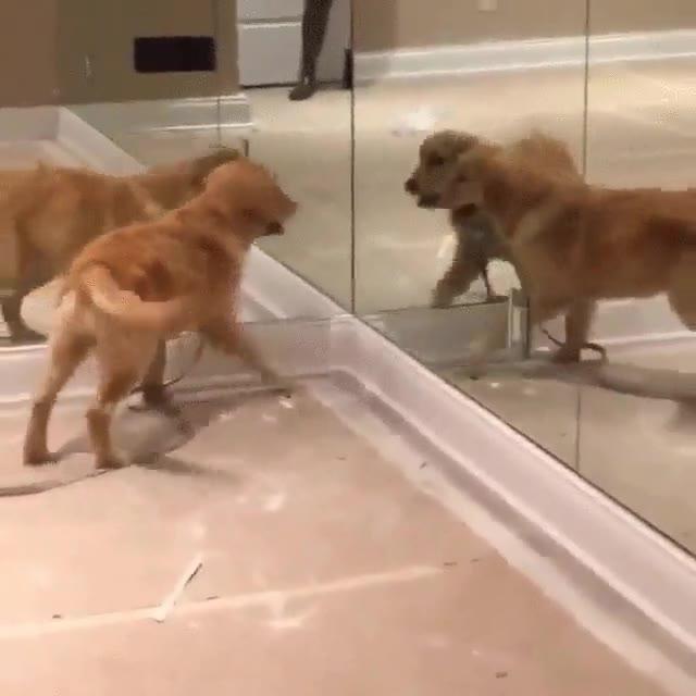 Enlace a Perro alucinando con su reflejo en el espejo