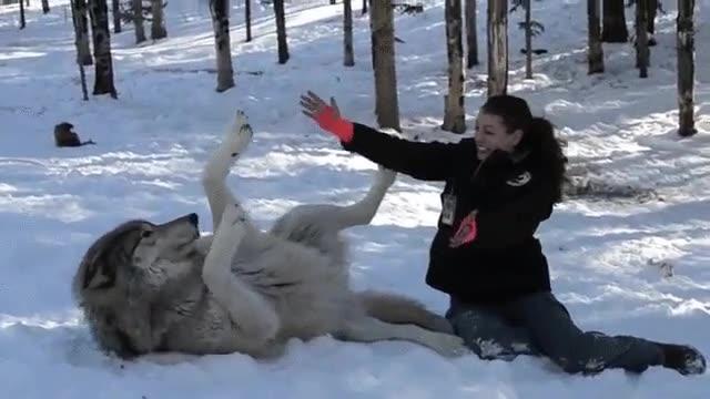 Enlace a Los lobos también necesitan mimos de vez en cuando