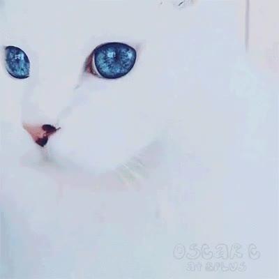 Enlace a El gato con los ojo más bonitos del mundo