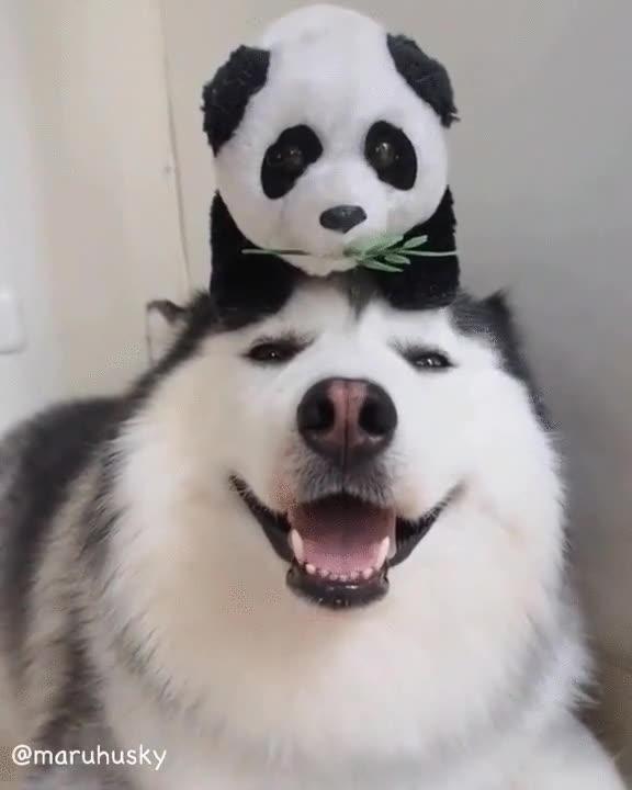 Enlace a El perro más feliz sobre la faz de la tierra. Solo necesitaba un panda en la cabeza
