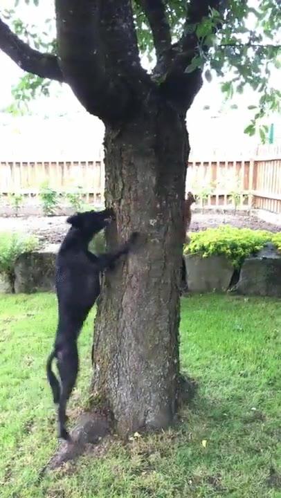 Enlace a Perro persiguiendo a una ardilla. Nunca la atrapará