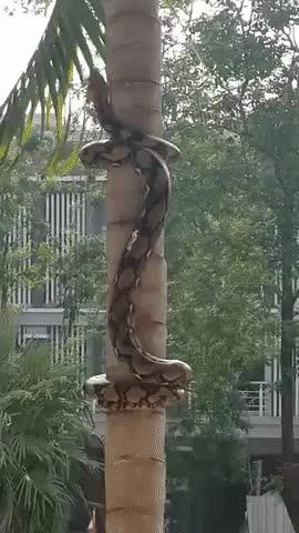 Enlace a Y así es cómo las serpientes suben por los árboles