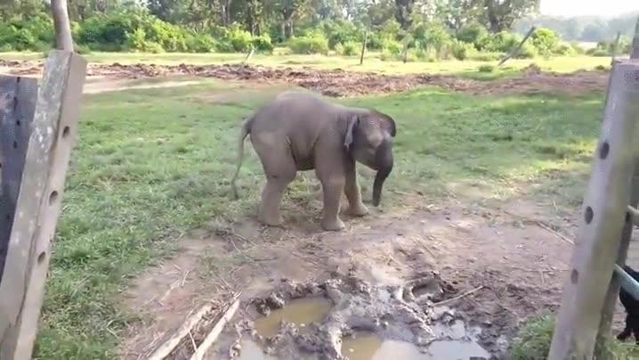 Enlace a Cría de elefante con mucho miedo a una cabra