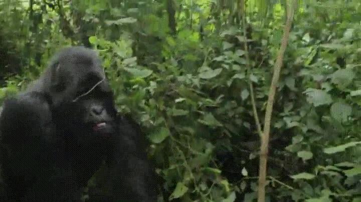 Enlace a Gorila acompañando amablemente a un grupo de turistas hacia la salida