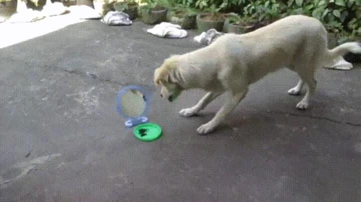 Enlace a Perro peleando contra su propio reflejo mientras come