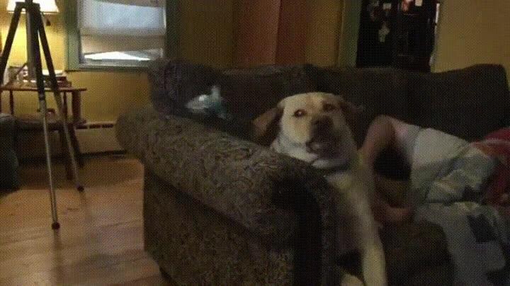 Enlace a Periquito dando una patada voladora en la cara de un perro, ni Bruce Lee