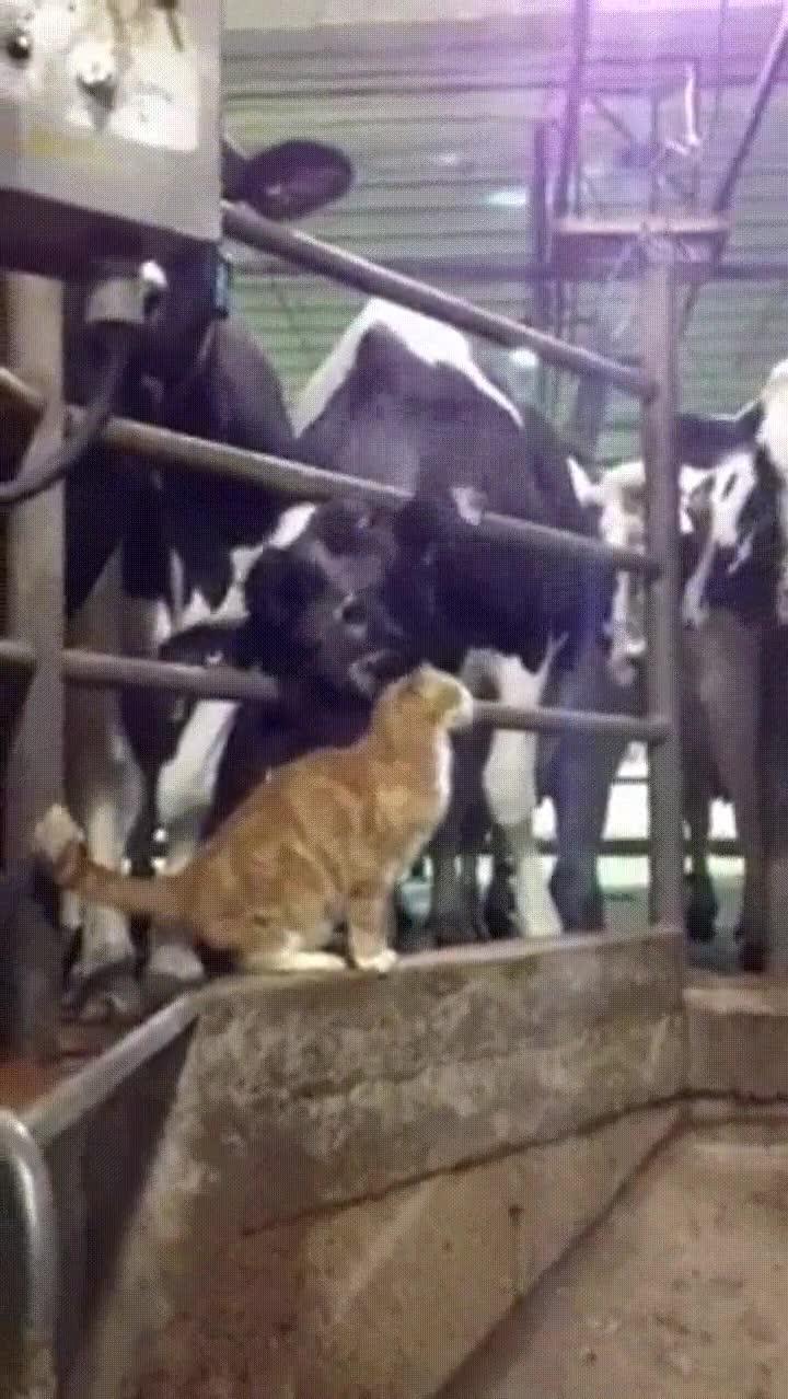 Enlace a Un gato y una vaca compartiendo un momento de lo más romántico