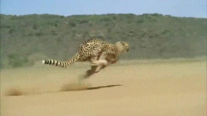 Enlace a El animal terrestre más rápido del mundo
