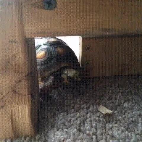 Enlace a Ser un tortuga puede ser realmente complicado