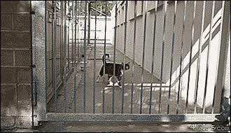 Enlace a Gato saltando dos metros y medio sin aparente esfuerzo