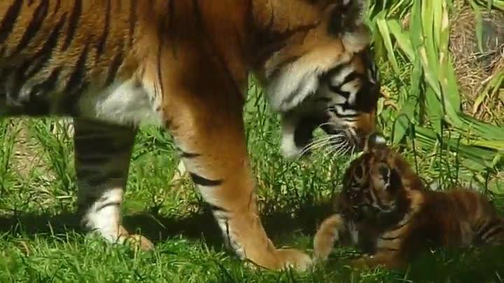 Enlace a Cachorro de tigre jugando con mamá