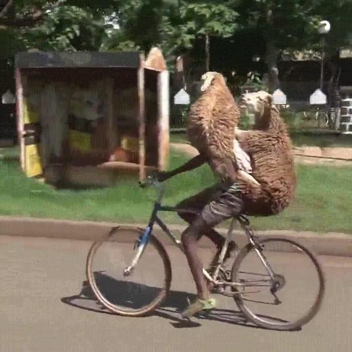 Enlace a Demostrado. Dos ovejas pueden ir en una bicicleta
